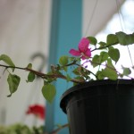 (My bougainvillea is blooming!)