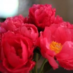 (My Mother's Day bouquet of peonies, still going strong.)