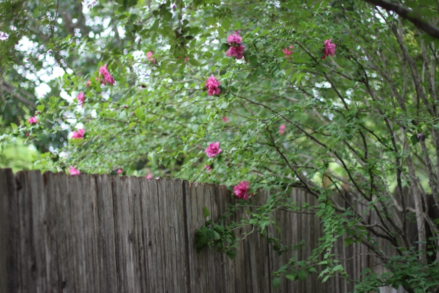 Walking with Cake: Rose of Sharon 2013