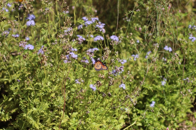 Walking with Cake: Butterfly bush