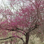 (A tree in bloom at our local park.)