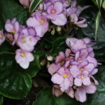 (African violets at Moody Gardens in Galveston.)