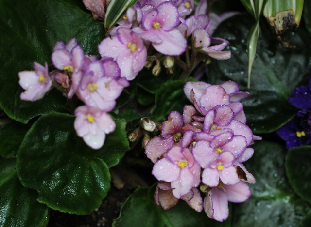 Walking with Cake: African Violets