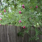 (Our Rose of Sharon is beginning to bloom.)