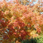 (This Chinese Pistache Tree grows behind our fence and is so beautiful in the fall.)